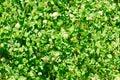 White clover trifolium repens flower of the clover trifolium repens l dutch Stock Image