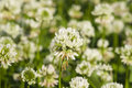 White Clover, Trifolium Repens...