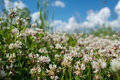 white clover wild meadow flowers in field over deep blue sky. Nature vintage summer autumn outdoor photo. Selective focus macro sh Royalty Free Stock Photo