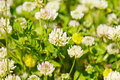White clower flowers clover in spring shallow depth of field Stock Photography