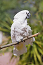 White Cockatoo on a Stick Stock Image