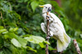 White cockatoo in tree with yellow highlight feathers sitting on branch with green foliage forest background tropical bird Stock Photography