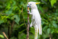 White cockatoo in tree with yellow highlight feathers sitting on branch with green foliage forest background tropical bird Stock Photos