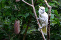 White cockatoo in tree with yellow highlight feathers sitting on branch with green foliage forest background tropical bird Royalty Free Stock Images