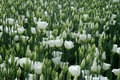 White coloured lisianthus flowers on a greenhouse bed Royalty Free Stock Photo