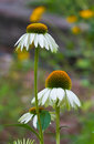 White Coneflowers - Echinacea Royalty Free Stock Photography