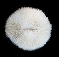 white coral isolated Royalty Free Stock Photo
