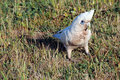 White Corella in Grassy Field Royalty Free Stock Photography