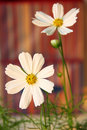 White cosmos Royalty Free Stock Image