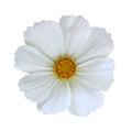 White Cosmos Bipinnatus Royalty Free Stock Photo