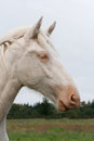 White country horse Stock Photography