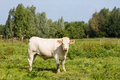 White cow in a field big of green grass Stock Photography