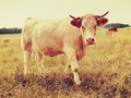 White cow grazing in the meadow hot sunny day on meadow with yellow grass stalks flies sit on cow head dry Royalty Free Stock Photo