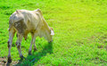 White cow in green grass field Royalty Free Stock Photo