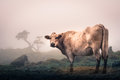 White cow in the highlands of island of pico with foggy background Stock Photo