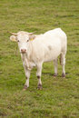 White cow in meadow looking up Royalty Free Stock Photography