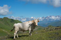 White cow on meadow in mountains Royalty Free Stock Photo