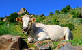 White cow photo of on meadow Royalty Free Stock Photography
