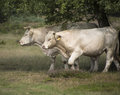 A white cow and a white bull walking Royalty Free Stock Photo