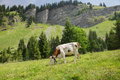A white cow with yellows spots is feeding on Alpine meadow Royalty Free Stock Photo