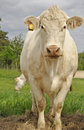 White cows Royalty Free Stock Images