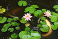 White Coy Fish In A Pond With Lily Pads Royalty Free Stock Photo
