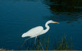 White crane by blue lake a bird at the edge of a still peaceful Stock Photography
