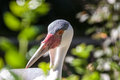 White crane close up in sidelight head view of with bokeh background Royalty Free Stock Image