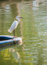 White crane looking to eat fish standing still Royalty Free Stock Image