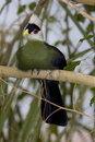 White-crested Turaco II (Tauraco leucolophus) Stock Images