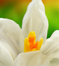 White crocus closeup macro detail of on garden Royalty Free Stock Image