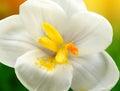 White crocus closeup macro detail of on garden Stock Images