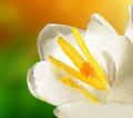 White crocus closeup macro detail of on garden Royalty Free Stock Images