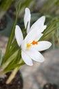 White crocus crocus heuffelianus blooming detail of Stock Photo