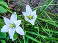 White crocus flower and fresh green grass Royalty Free Stock Photo