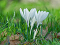 White crocus flowers on spring field a green Stock Images
