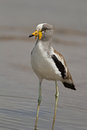 White crowned lapwing vanellus albiceps Royalty Free Stock Photos