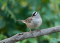 White crowned sparrow a beautiful perched on a bare branch as it approaches a wisconsin bird feeding station Royalty Free Stock Photo
