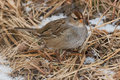 White crowned sparrow juvenile foraging in the the dead winter grass Stock Images