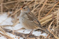 White crowned sparrow juvenile standing on a fallen branch in the snow Stock Photos