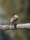 A white crowned sparrow in the wild sits on an oak tree branch with beautiful green bokeh background Stock Photo