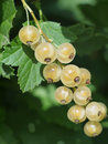 White currant Royalty Free Stock Photos
