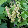 White currant berries Royalty Free Stock Photo