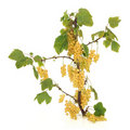 White Currant Fruit Stock Photo