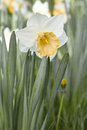 White daffodil with dew on petals at morning hours Royalty Free Stock Photos