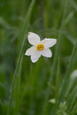 White daffodil in the rain closeup Royalty Free Stock Photo