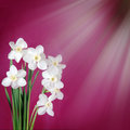 White daffodils on a burgundy background bouquet of Stock Photography