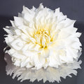 White Dahlia Royalty Free Stock Photo