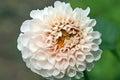 White dahlia closeup on flower Stock Image
