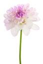 White dahlia isolated Royalty Free Stock Photo